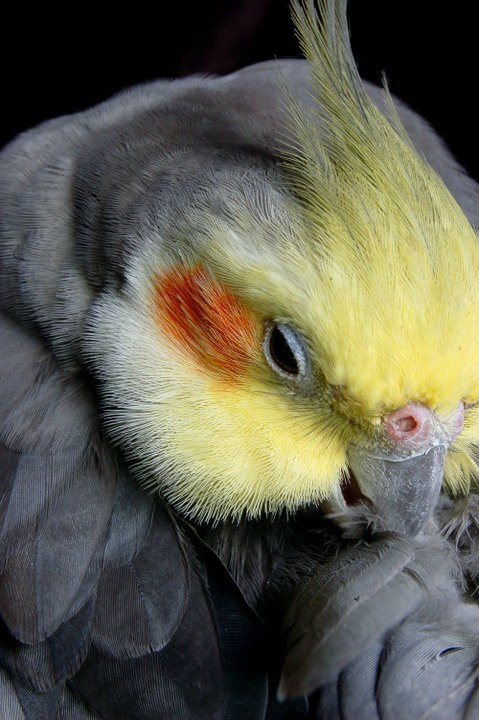blushing birds cockatiels squee spree squee