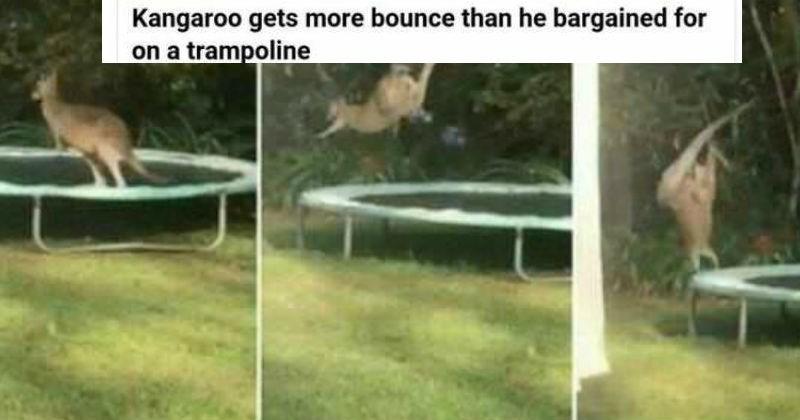 australian things, random, funny, kangaroo bouncing on a trampoline