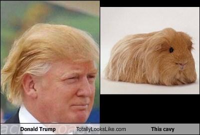hair,cavy,guinea pigs,donald trump,TLL