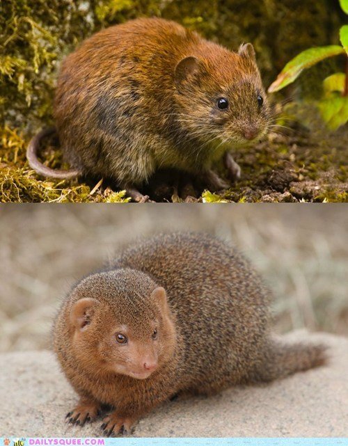 poll,mongoose,versus,bank vole,squee spree,squee