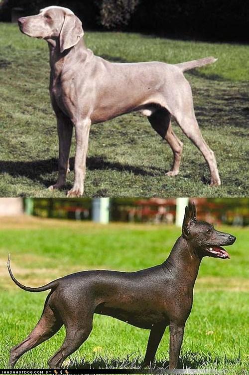 poll dogs Xoloitzcuintli goggie ob teh week face off weimaraner - 7119826944