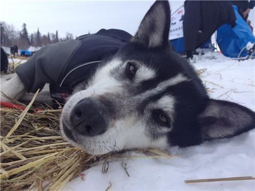 dogs,alaska,list,dog sled,huskies,iditarod