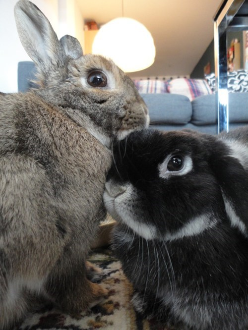 Bunday bunnies snuggles PDA squee rabbits - 7121956352