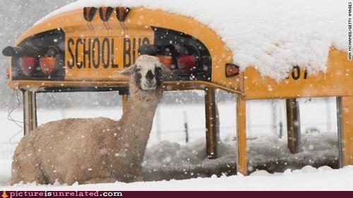 llama,snow,funny,bus