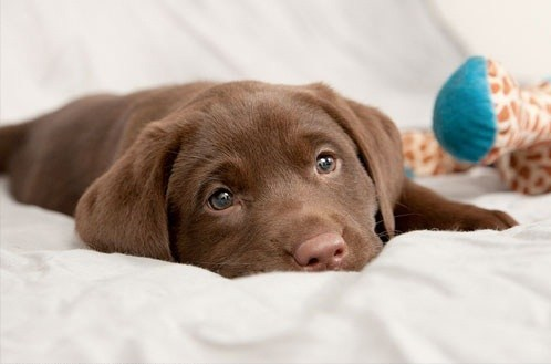 dogs puppies chocolate lab cyoot puppy ob teh day - 7122219520