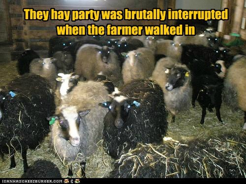 hay,Staring,farmer,interrupted,goats,Party