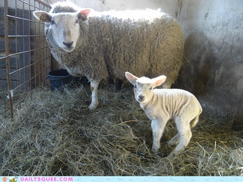 Squeeness of the lambs