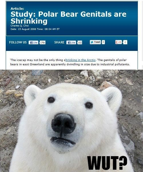 tragedy polar bears genitals shrinking