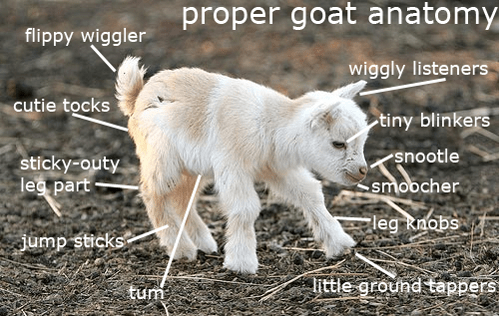 anatomy goat cute animals