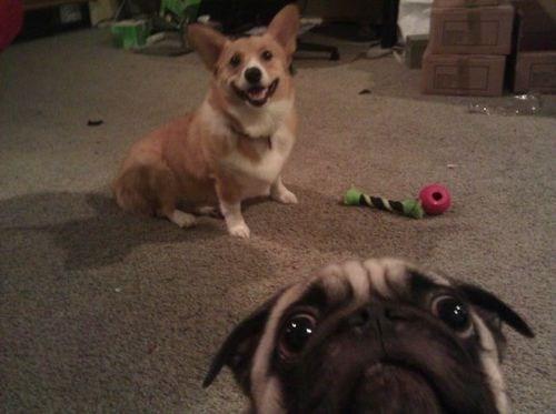 dogs pug corgi - 7132944896