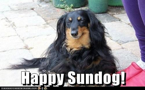 dogs long hair Sundog dachshunds - 7133522944