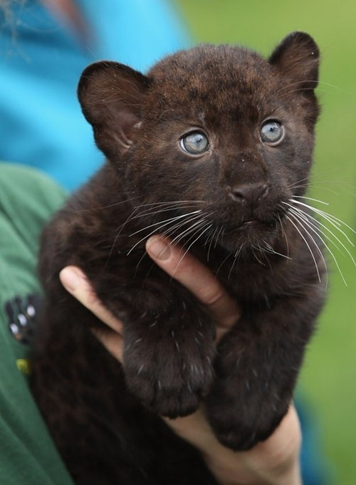 panther,cubs