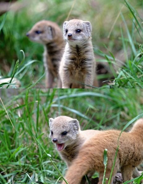 Babies,mongoose,tiny,squee spree,squee
