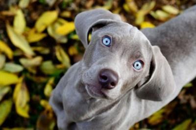 dogs goggie ob teh week weimaraner - 7136046848