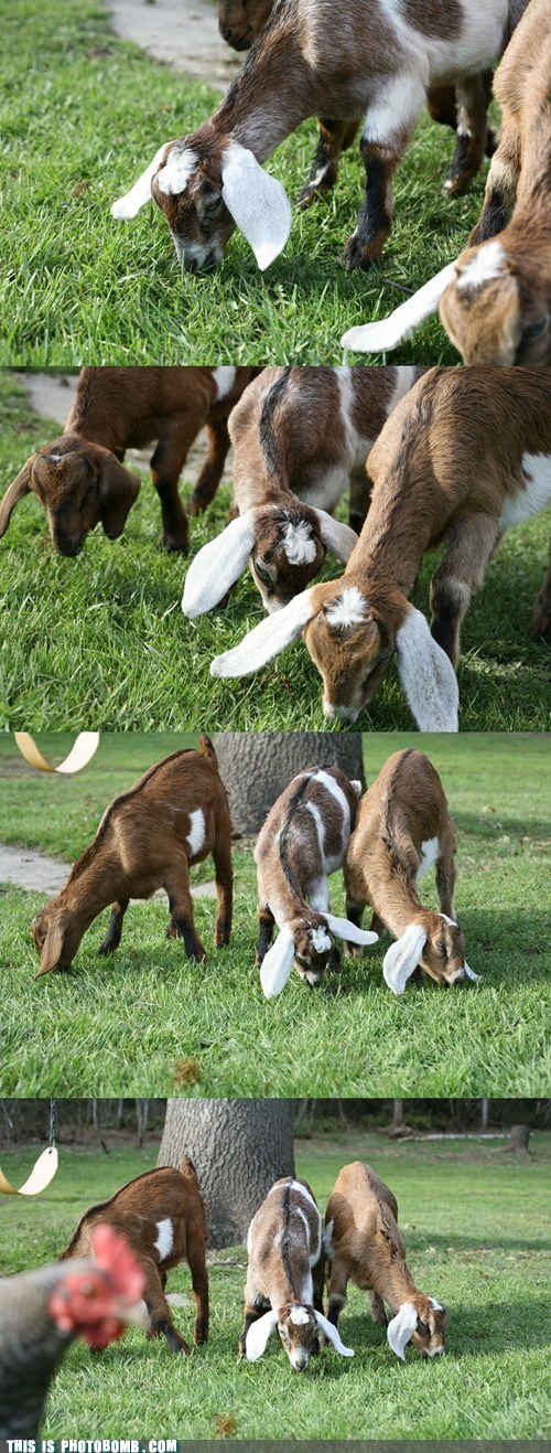 goats animals - 7137760256