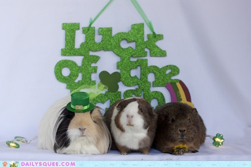 reader squee pets guinea pigs St Patrick's Day squee - 7138191872