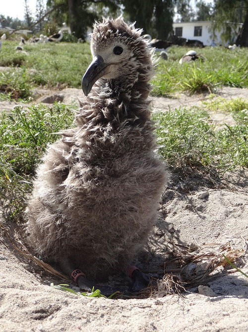 birds wisdom chick albatross Babies squee - 7138522624