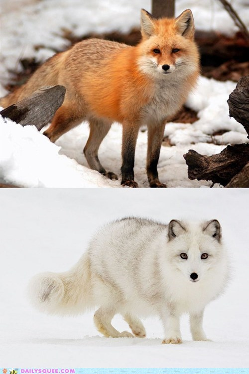 poll foxes arctic fox versus red fox squee spree squee
