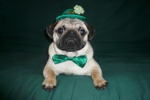dogs,list,St Patrick's Day,holiday
