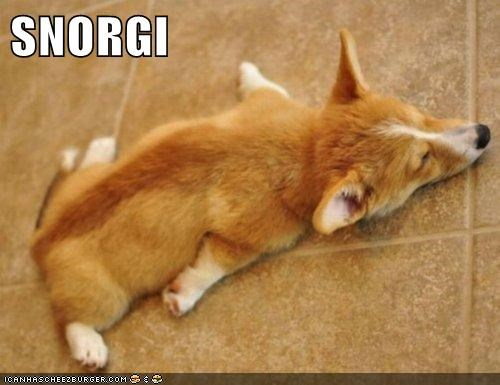 corgi sleep snore - 7140347136
