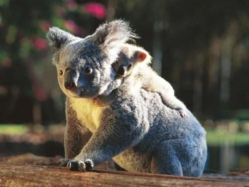 baby koala hug - 7140772096