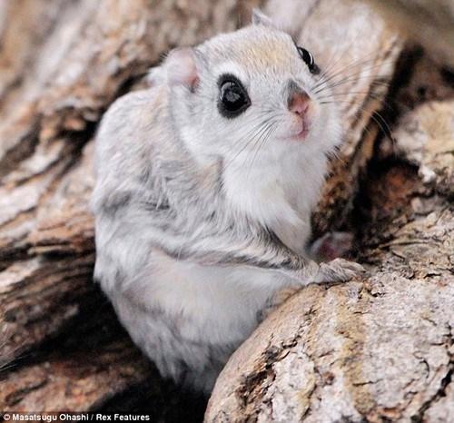 siberian squirrel flying - 7140794112