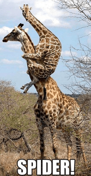 jumped,spider,scared,giraffes