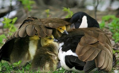 umbrella,birds,goose,mom