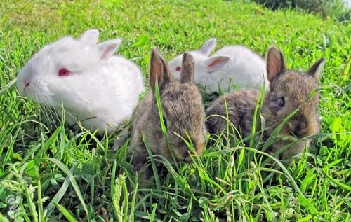 Bunday Babies bunny squee rabbits - 7140972288