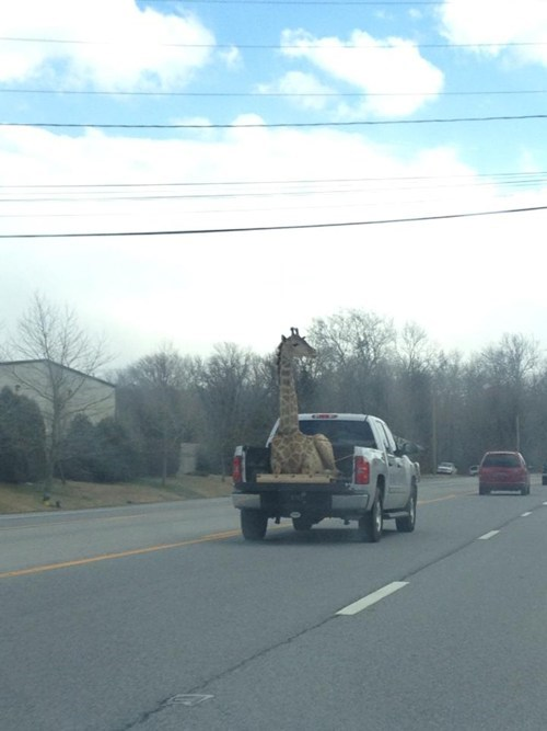cars giraffes safety delivery