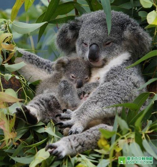 cuddle,koala