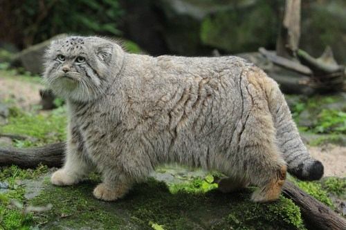 Puffy Pallas Cat