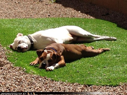 sunbathing bulldogs - 7148366336
