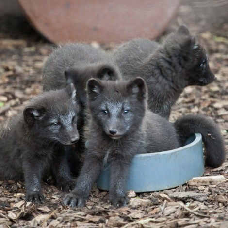 Babies kits arctic foxes squee spree squee - 7148366592