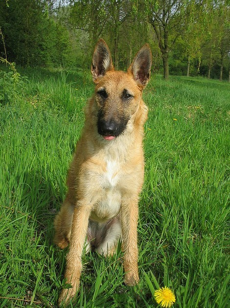 dogs Belgian Laekenois goggie ob teh week herding dog - 7148478720