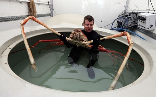 wtf japanese spider crab funny animals - 7150274816