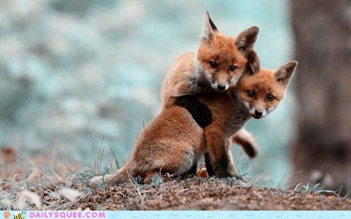 foxes,buds