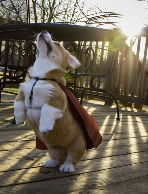 capes dogs superheros