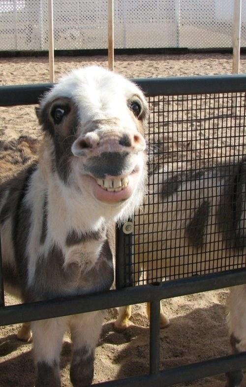 donkey,smile