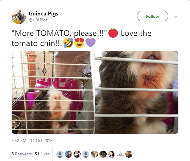 aww cute guinea pig tweets animal tweets - 7160837