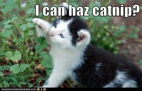 catnip - 7162847232
