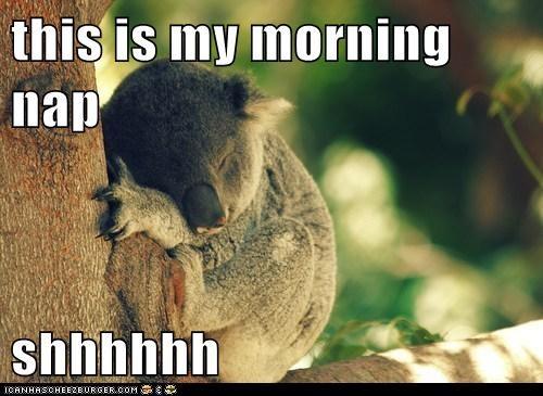 nap koala - 7163129088