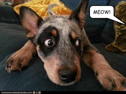 cat,meow