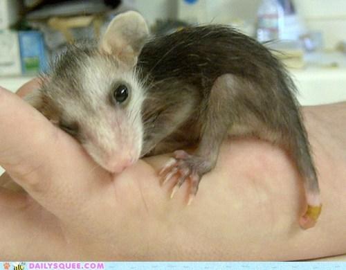 wink opossum - 7163479552