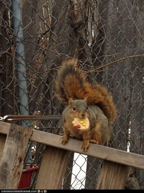 squirrel cookies - 7163773184