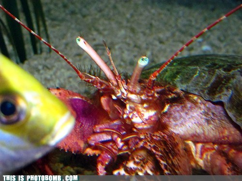 lobster fish animals - 7164760064