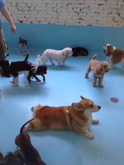 corgi indifferent dogs