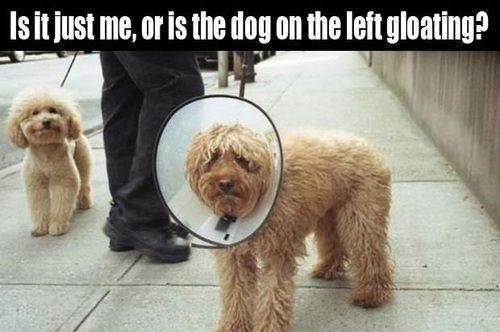 cone of shame,gloating