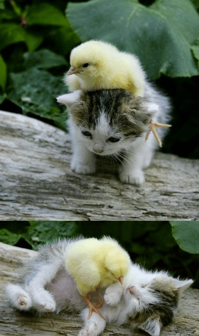 best friends,kitten,chicken