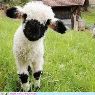 Lambchop!